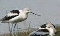 Pea Island National Wildlife Refuge Birder's Paradise